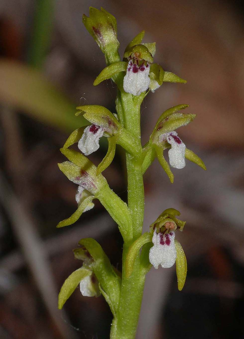 http://www.orchidsofbritainandeurope.co.uk/Web%20pictures/Corallorhiza%20trifida%2041%20%28Vercors%29.jpg